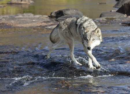Close up image of a timber wolf wading through the water, walking toward the camera
