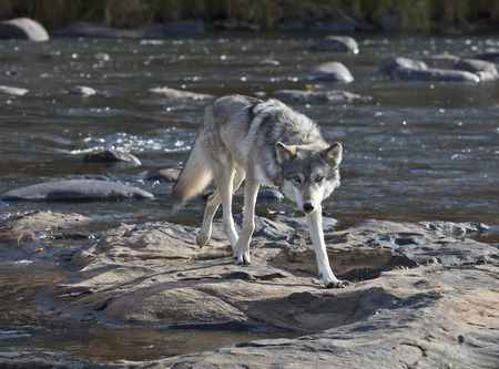 timber wolf: Close up image of a Timber wolf walking across boulders in a river