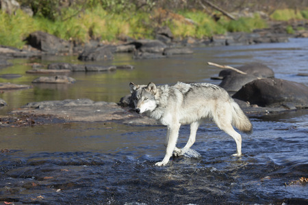 timber wolf: Close up image of a timber wolf wading in the river water, looking toward the camera. Stock Photo