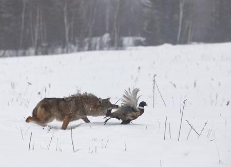 코요테는 반지에 목이없는 꿩을 쫓고 있습니다. 육식 동물과 먹이의 소프트 포커스입니다. 미네소타의 겨울 안개