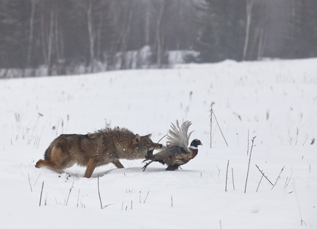 chasing tail: Coyote chasing a ring necked pheasant rooster. Soft focus of predator and prey. Wintry mist in Minnesota