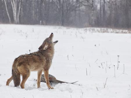 코요테 링 넥 꿩의 그의 먹이를 통해 짖는. 비와 안개를 동결하는 것은이 겨울 장면을 없앤다.