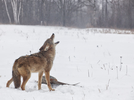 Coyote howling over his prey of a ring necked pheasant. Freezing rain and mist scatters this winter scene.