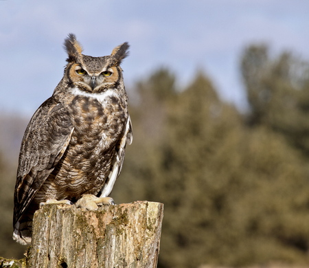 Close up portrait of a Great Horned Owl, perched on a tree stump.