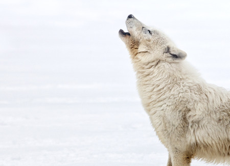 Profile of an arctic wolf howling. Winter scene Stockfoto