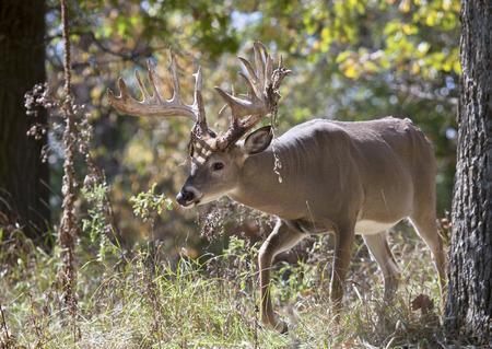 venado cola blanca: Venado cola blanca Big Buck caminando por el bosque. Antlers están arrojando terciopelo del roce. En celo comportamiento.