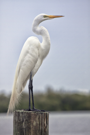 atop: Great white egret stands perched atop a wooden post