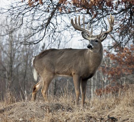 트로피 크기, 경고, 흰 꼬리 사슴 벅 프로파일. 위스콘신의 가을