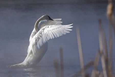 canne: Trombettista cigno estende le sue ali. Nebbia del mattino in aumento l'acqua, con canne in primo piano. Soft focus