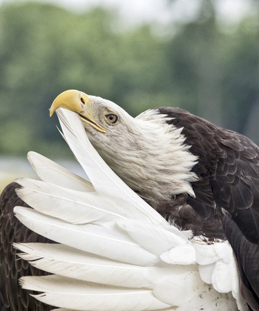 Adult bald eagle preening tail feather Stock Photo
