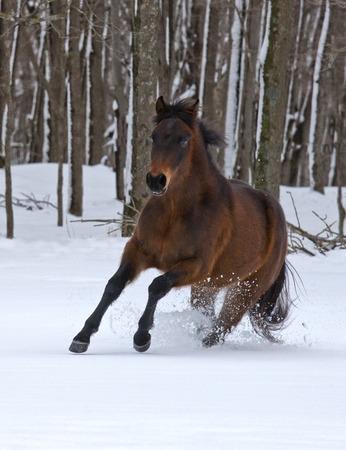 Bay, Quarter Horse colt, running through fresh snow