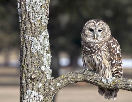 Barred owl perched on oak branch