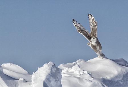 스노 올빼미가 비행을합니다. 미네소타의 겨울. 스톡 콘텐츠