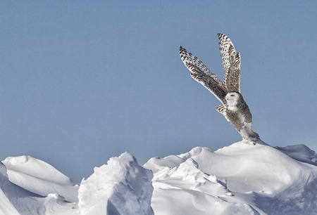 Snowy Owl takes flight. Winter in Minnesota. Stock Photo