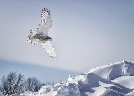 눈 덮인 올빼미 비행입니다. 미네소타의 겨울.