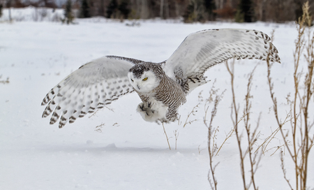 Snowy owl in flight, catching prey in open corn field. Winter in Minnesota.