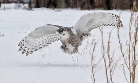 talons: Snowy owl in flight, catching prey in open corn field. Winter in Minnesota.