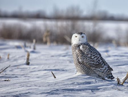 close up portrait of a juvenile snowy owl hunting in a snowy corn field
