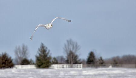 minnesota: Snowy owl in flight. Winter in Minnesota Stock Photo