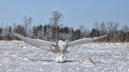 Snowy owl in flight, catches prey in corn field. Winter in Minnesota.