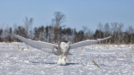 snowy owl: Snowy owl in flight, catches prey in corn field. Winter in Minnesota.