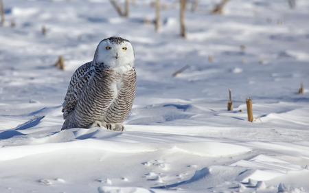 Portrait of a juvenile snowy owl, looking at the camera. Winter in Minnesota