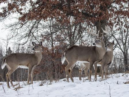 whitetail 사슴 숫 사슴 벅, 떡갈 나무 아래 서 경고. 위스콘신의 겨울 스톡 콘텐츠
