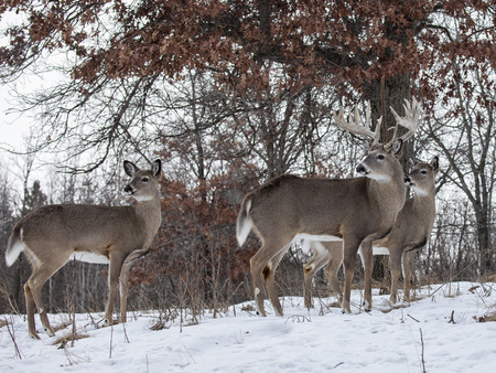 whitetail deer buck with does, standing alert under an oak tree. Winter in Wisconsin 版權商用圖片