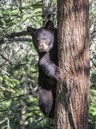 Alert American Black bear climbing a tree. Summer in Minnesota Stock Photo