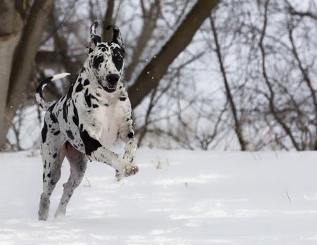 great dane harlequin: Energetic Great Dane running in snow, toward the camera