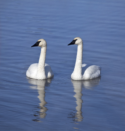 Pair of Trumpeter Swans swimming beside one another photo