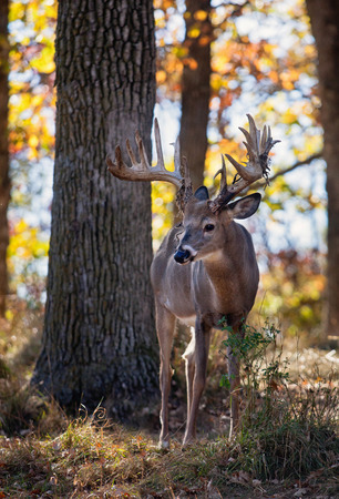 whitetail buck: Backlit autumn image of a whitetail deer buck in Wisconsin. Shallow Depth of Field. Stock Photo
