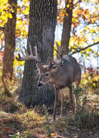 venado cola blanca: Imagen Oto�o de iluminaci�n posterior de un d�lar de los ciervos de cola blanca en Wisconsin. Poca profundidad de campo.