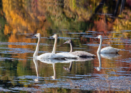 trumpeter swan: Trumpeter Swan family float leisurely on a lake. The backdrop of fall colors provide for a beautiful reflection.