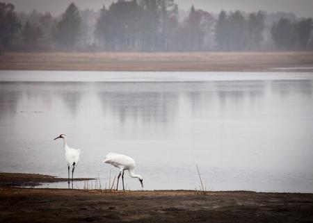 whooping: Pair of endangered Whooping Cranes in late autumn. Necedah Wildlife Refuge, Wisconsin.