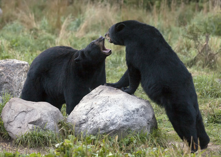 Two bears sparring with mouths open