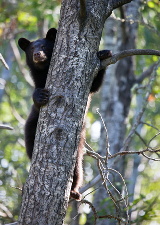 Young American Black Bear cub seeks shelter up a tree. Summer in Minnesota.