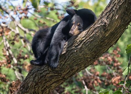 seeks: American Black Bear seeks safety in a tree. Shallow depth of field. Summer in northern Minnesota
