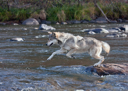 timber wolf: wolf running across rocks in a river, pursuing prey . Autumn in Minnesota