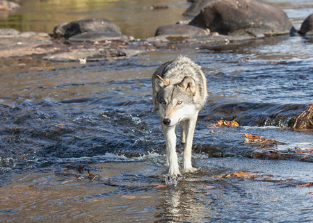 timber wolf: Close up image of a timber wolf wading in the river water, walking toward the camera. Stock Photo