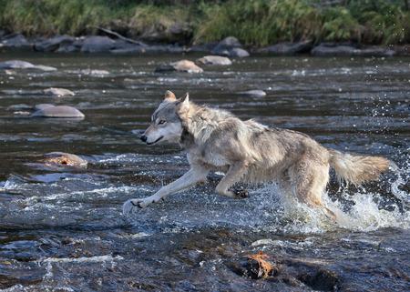 강 물 persuing 먹이를 통해 실행 목재 늑대