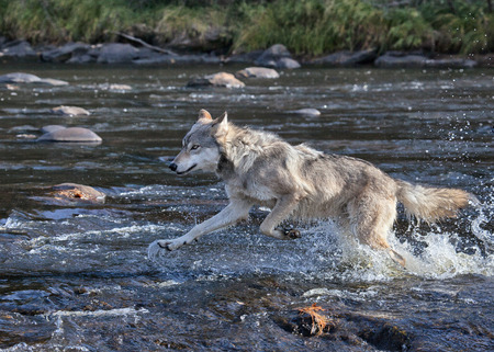 Timber wolf running through river water persuing prey