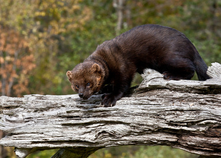 Fisher standing on old fallen tree
