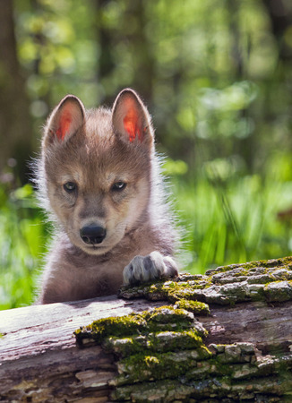 Backlit head and shoulders image of a young wolf pup