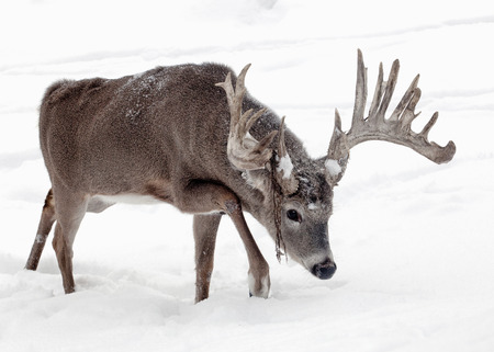 Trophy whitetail deer buck walks through the snow. Winter in Wisconsin Stock Photo