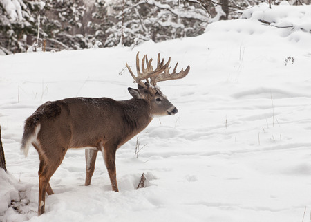 Profile image of trophy whitetail deer buck, standing amongst newly fallen snow. Winter in Wisconsin Stock Photo
