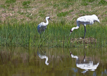 whooping: Whooping Crane pair. One tending to nest, and the other close by. Reflections seen in the water.