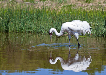 whooping: Profile close up image of a Whooping Crane in the water, with reflection.