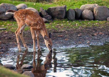 venado cola blanca: Young-venado cola blanca fawn, bebe el agua de un estanque. Reflexi�n puede ser visto.
