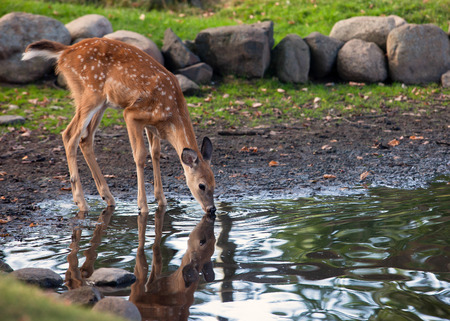 reflection in the water: Young white-tailed deer fawn, drinks water from a pond. Reflection may be seen.